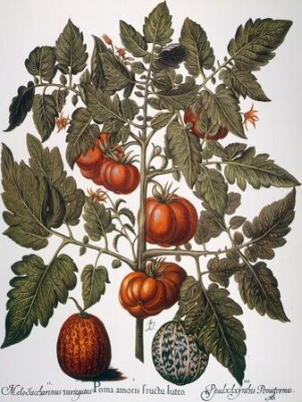 Tomato & Watermelon 1613 by Besler Basilius