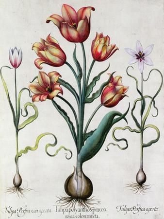 Tulipa Perfica Non Aperta, Tulipa Polyanthos Pracox, Tulipa Perfica Aperta by Besler Basilius