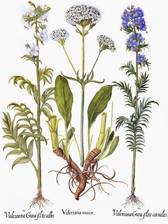 Valerian Flowers, 1613