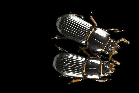 Bess Beetles or Leather Beetles, Odontotaenius Disjunctus.-Joel Sartore-Photographic Print