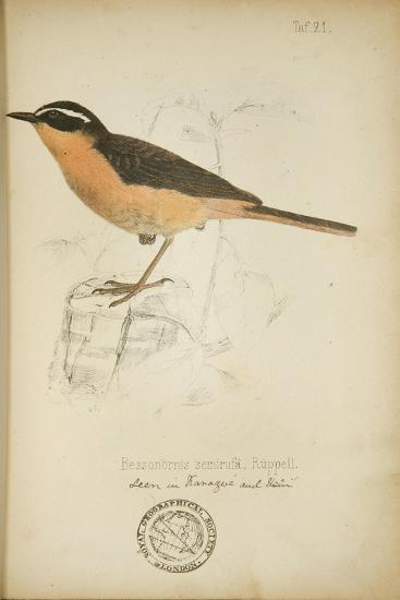 Bessonornis Semirufa, Ruppell, C.1863-Eduard Ruppell-Giclee Print