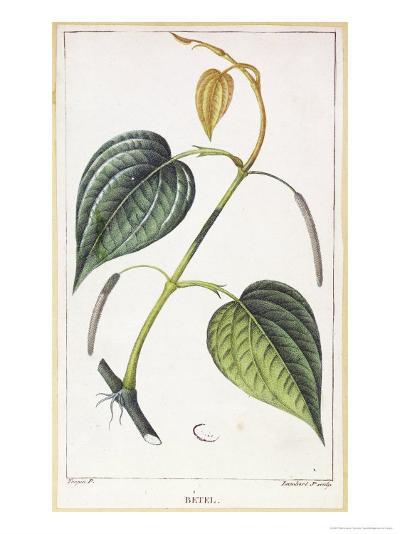 Betel, Botanical Plate, circa 1810-Pierre Jean Francois Turpin-Giclee Print