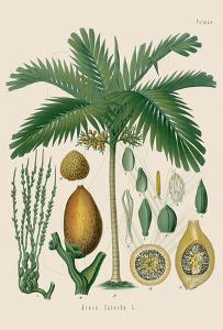 Betel Nut Palm - From Hermann Koehler's Medicinal Plants
