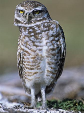 Burrowing Owl, Athene Cunicularia, Bobbing its Head for Better Binocular Vision, North America by Beth Davidow