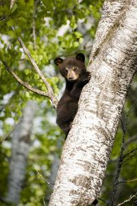 Bear Cub in Tree III by Beth Wold