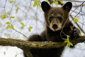 Black Bear Cub I by Beth Wold