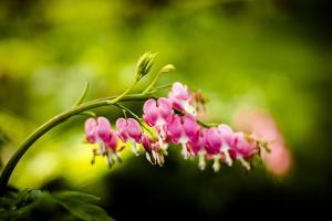 Bleeding Hearts I by Beth Wold