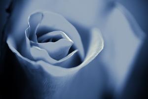 Blue Rose II by Beth Wold