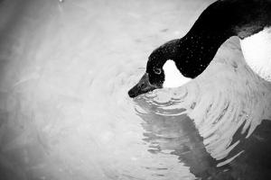 Canadian Goose III by Beth Wold