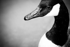Canadian Goose IV by Beth Wold