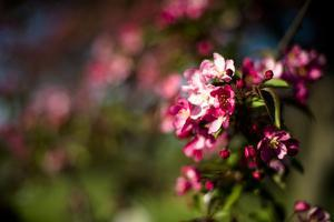 Crabapple Blooms by Beth Wold