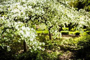 Crabapple in Spring II by Beth Wold