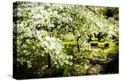 Crabapple in Spring II