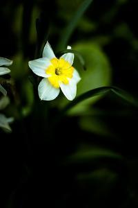Daffodil I by Beth Wold