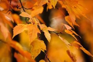 Fall Leaves I by Beth Wold