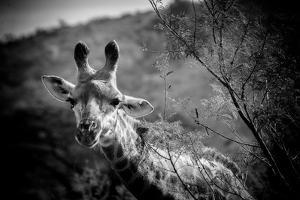 Giraffe I by Beth Wold