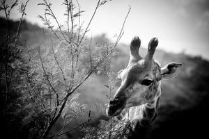 Giraffe II by Beth Wold