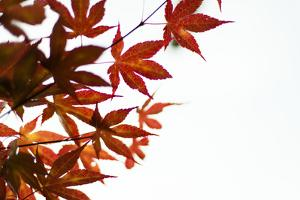 Japanese Maple I by Beth Wold