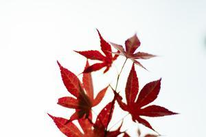 Japanese Maple IV by Beth Wold