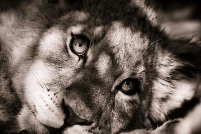 Lion Cub II