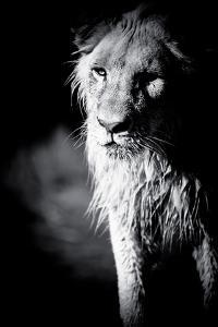 Lioness in Water II by Beth Wold
