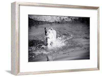 Lioness in Water