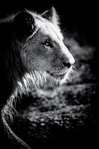 Male Lion III by Beth Wold