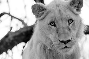 Male Lion by Beth Wold