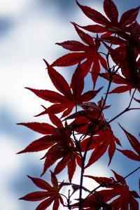 Maple Leaves by Beth Wold