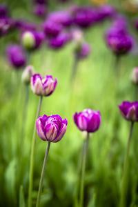 Pink Tulip IV by Beth Wold