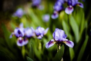 Purple Iris II by Beth Wold