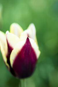 Red and Yellow Tulip II by Beth Wold