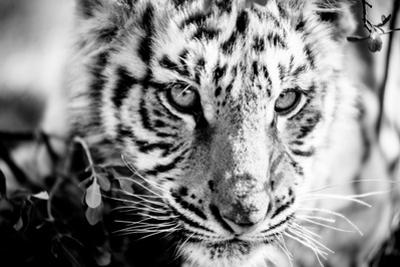 Tiger Cub I by Beth Wold
