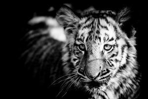 Tiger Cub II by Beth Wold