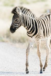 Zebra Colt I by Beth Wold
