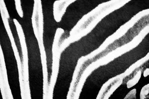 Zebra Fur II by Beth Wold