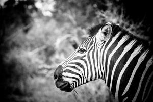 Zebra II by Beth Wold