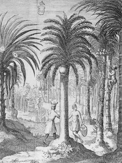 Bethel and Arek Plants, Whose Leaves and Nuts are Chewed by Indians, Asia--Giclee Print