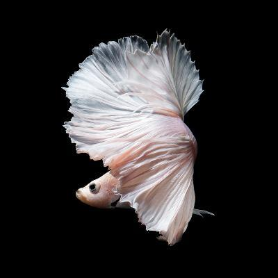 Betta Fish,Siamese Fighting Fish in Movement Isolated on Black Background-Nuamfolio-Photographic Print