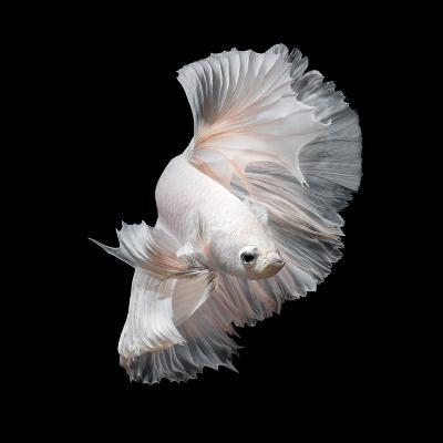 Betta Fish,Siamese Fighting Fish in Movement Isolated on Black Background.-Nuamfolio-Photographic Print