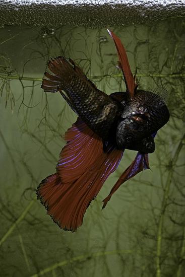 Betta Splendens (Siamese Fighting Fish) - Pair Spawning under the Bubble Nest-Paul Starosta-Photographic Print