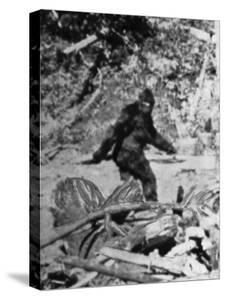 Alleged Photo of Bigfoot by Bettmann