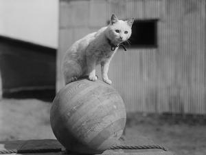 Cat Standing on Wood Ball by Bettmann