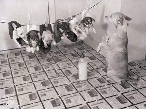 Chihuahua Feeding Her Pups by Bettmann