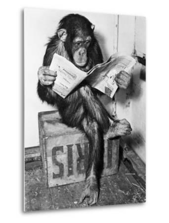 Chimpanzee Reading Newspaper