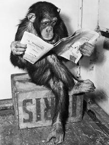 Chimpanzee Reading Newspaper by Bettmann
