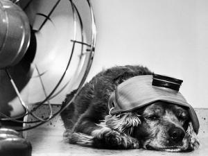 Cocker Spaniel Keeping Cool with Electric Fan by Bettmann