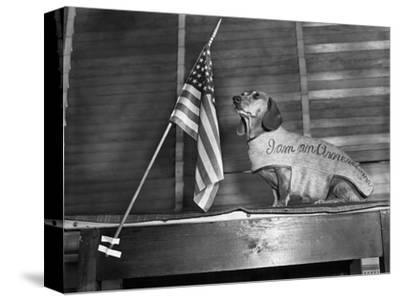 Dachshund Looking At American Flag