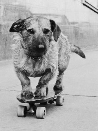 Dog Riding Skateboard
