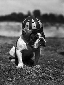 Dog Wearing Helmet on Football Field by Bettmann